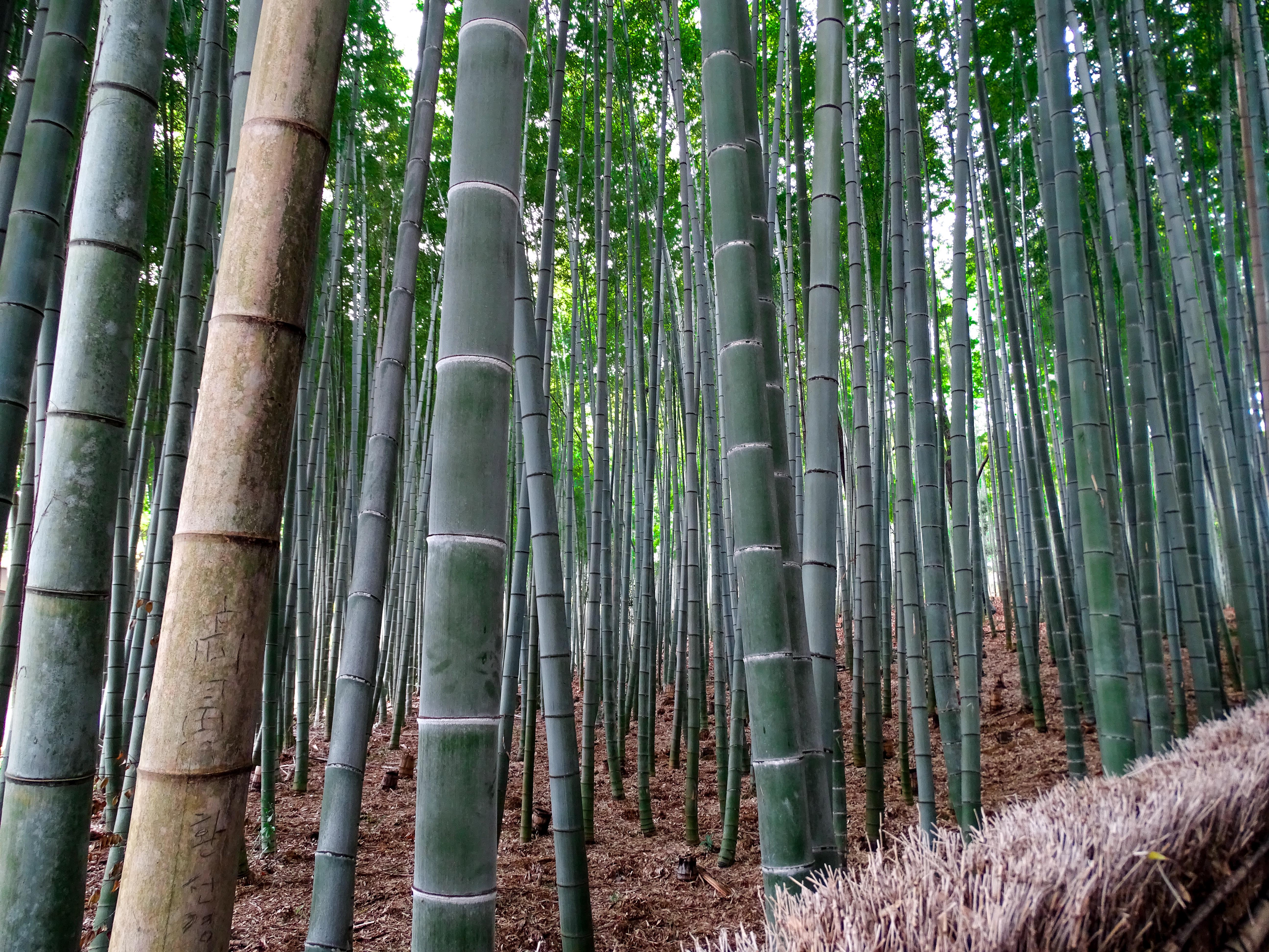 bamboo grove arashiyama